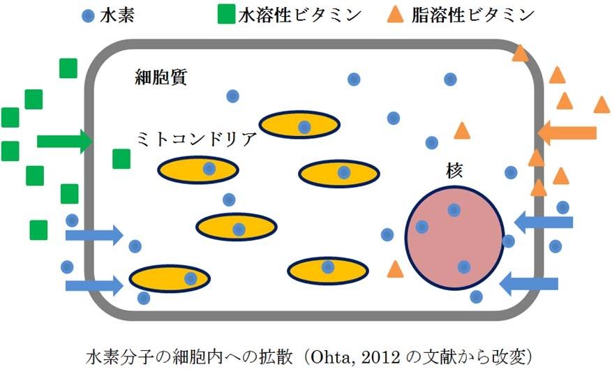 水素分子の細胞内拡散